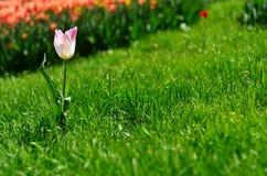 Tulpan på gräsmattan Royaltyfria Bilder