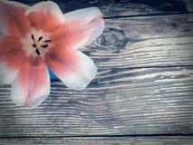 Tulpan på wood plankabakgrund för mörk ladugård Fotografering för Bildbyråer