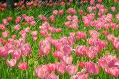 Tulpan regnar in Fotografering för Bildbyråer