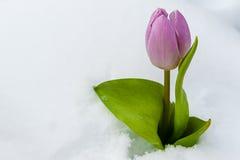 Tulpan i snowen Arkivfoto