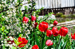 Tulpan som blommar i körsbär Royaltyfria Foton