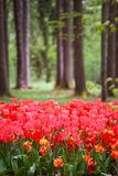 Tulpan som blommar i skog arkivbilder