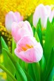 Tulpan som blommar i studiokvalitets8 mars Arkivbild