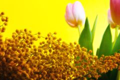 Tulpan som blommar i studiokvalitets8 mars Royaltyfria Foton