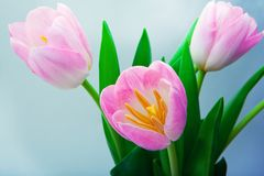 Tulpan som blommar i studiokvalitets8 mars Royaltyfri Foto