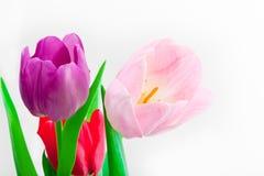 Tulpan som blommar i studiokvalitets8 mars Arkivfoton