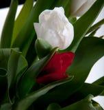 Tulpan som blommar i studiokvalitets8 mars Arkivbilder