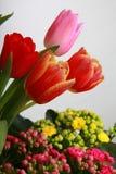 Tulpan som blommar i studiokvalitets8 mars Fotografering för Bildbyråer