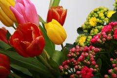 Tulpan som blommar i studiokvalitets8 mars Arkivfoto