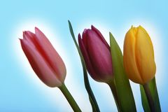 Tulpan som blommar i studiokvalitets8 mars Royaltyfri Fotografi