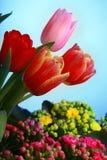 Tulpan som blommar i studiokvalitets8 mars Royaltyfria Bilder