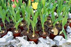Tulpan som växer i kruka Fotografering för Bildbyråer