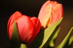 Tulpan som växer i trädgården Royaltyfri Foto