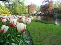 Tulpan trädgårds- sjö, Keukenhof, Nederländerna, nord av Europa Royaltyfri Bild