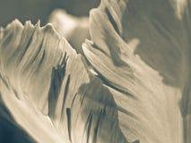 Tulpan (Tulipa) (104), närbild Arkivfoto