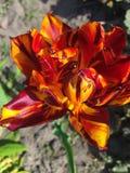 Tulpanblomma av röd-guling Arkivfoton