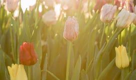 Tulpanblomma i morgonljuset Arkivfoto