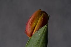 Tulpanblomma i vattensmå dropparna och det gröna bladet Royaltyfria Foton