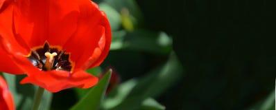 Tulpanblomma med suddig naturbakgrund, baner Arkivbild