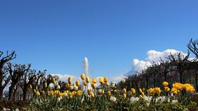 Tulpanblomma och springbrunn royaltyfri fotografi