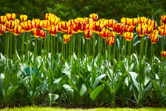 Tulpanblommaträdgård i vårbakgrund eller modell Fotografering för Bildbyråer
