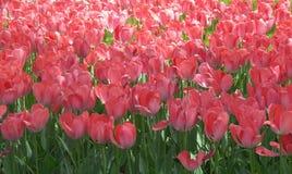 Tulpanblommor är det bästa valet för mors dagberöm Arkivfoton