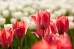 Tulpanblommor fotografering för bildbyråer
