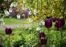 Tulpanblommor i vårfärg Royaltyfri Fotografi