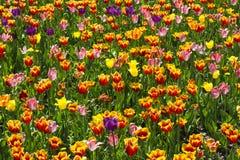 Tulpanblommor och träd på bakgrund i vår Nederländerna Europa Royaltyfri Foto