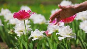 Tulpanblommor som smekas av kvinnahanden stock video