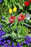 Tulpanblomningar Fotografering för Bildbyråer