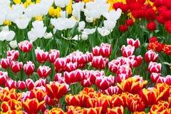 Tulpanblomsterrabatt, rött som är gul, vit Fotografering för Bildbyråer