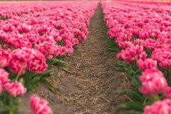 Tulpanfält Fotografering för Bildbyråer