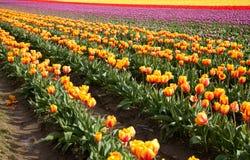 Tulpanfält i blom arkivfoton