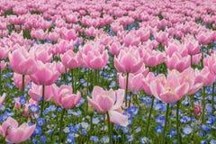 Tulpanfält i den Nabana inte sato trädgården, Japan royaltyfria foton
