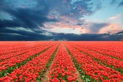 Tulpanfält i Nederländerna Royaltyfri Fotografi