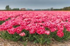 Tulpanfält i norr Holland Fotografering för Bildbyråer