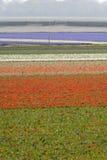 Tulpanfält i vår Royaltyfri Foto