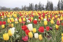 Tulpanfält med åtskilliga sorter av tulpan med olika färger arkivbild