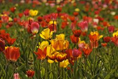 Tulpanfält med röda och gula blommor i Tyskland Royaltyfria Bilder