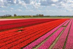 Tulpanfält med röda och rosa tulpan Royaltyfri Foto