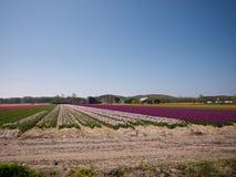 Tulpanfält och annat blommar Arkivfoton