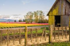 Tulpanfält och en ladugård Arkivfoton