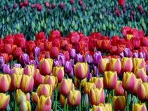 Tulpanfält på Abbotsford Tulip Festival in F. KR., Kanada Arkivbilder