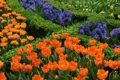 Tulpanfält som delas med växter Royaltyfria Bilder