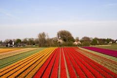Tulpanfält under våren i Nederländerna Royaltyfri Foto