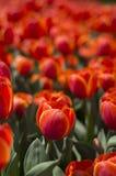 Tulpanfestival i Australien under blommande säsong arkivfoto
