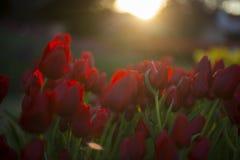 Tulpanfestival i Australien under blommande säsong royaltyfria foton