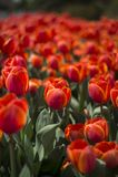 Tulpanfestival i Australien under blommande säsong royaltyfria bilder