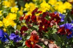 Tulpanfestival i Australien under blommande säsong fotografering för bildbyråer
